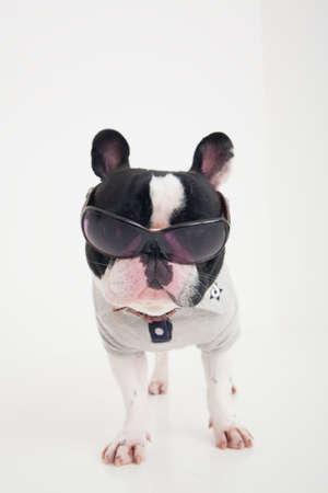 mammalian: French Bulldog Stock Photo