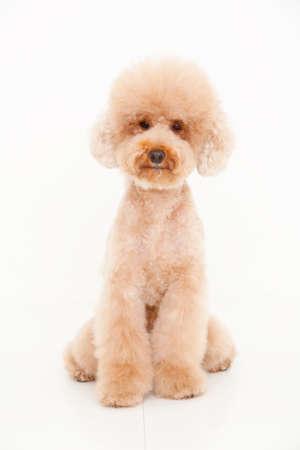 bowwow: Toy poodle Stock Photo