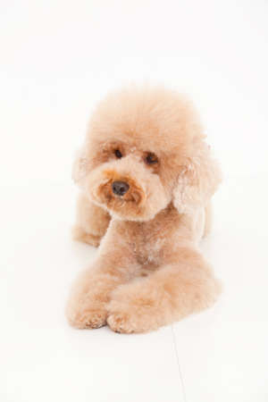 bowwow: Toy poodle Stock Photo