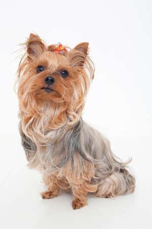 bowwow: Yorkshire Terrier