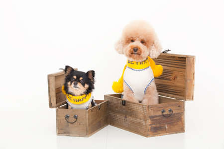 bowwow: Toy Poodle and Chihuahua Stock Photo