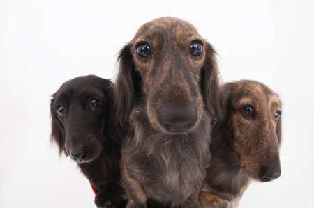 dachshund: Miniature Dachshund