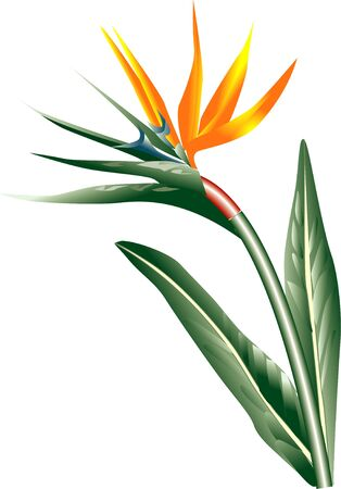 bird of paradise: Bird of Paradise I if Stock Photo