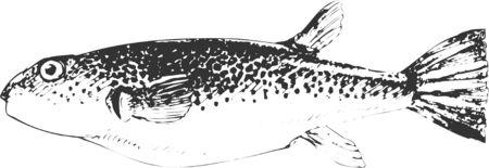 puffer fish: Gomafugu