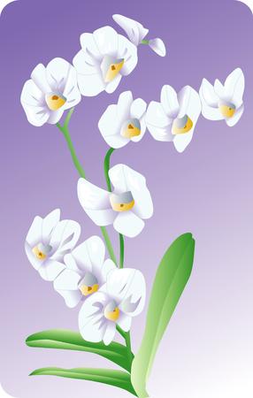 ko: Phalaenopsis