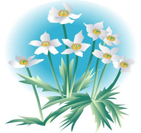 anemone: Anemone narcissiflora
