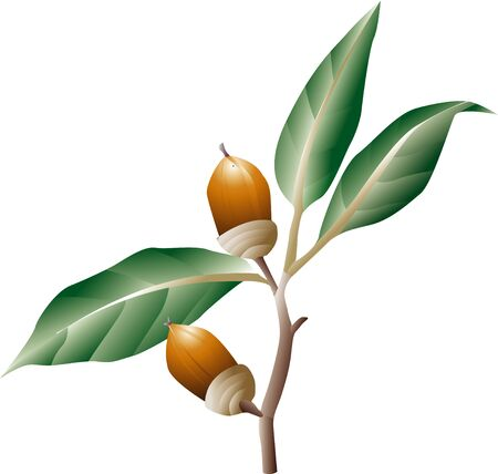 evergreen: Japanese evergreen oak