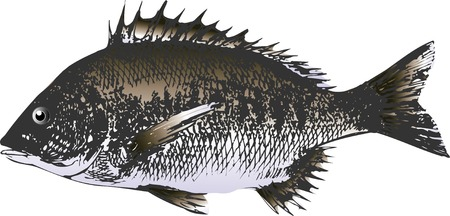 saltwater: Black sea bream Stock Photo
