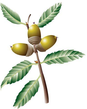 quercus: Quercus myrsinaefolia