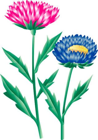 aster: China aster Aster
