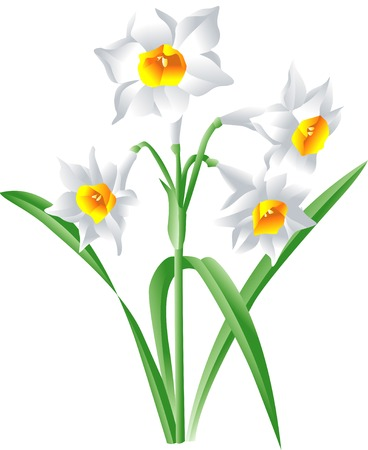 daffodil: Lipstick Daffodil