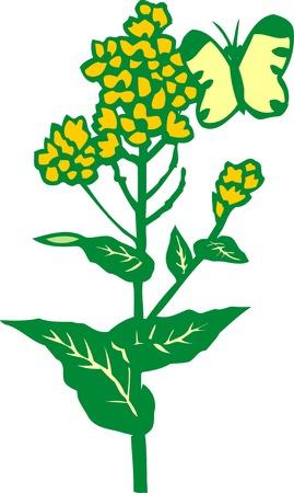 mustard: Field mustard