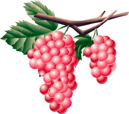 provisions: Grape