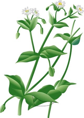 chickweed: This op Stock Photo