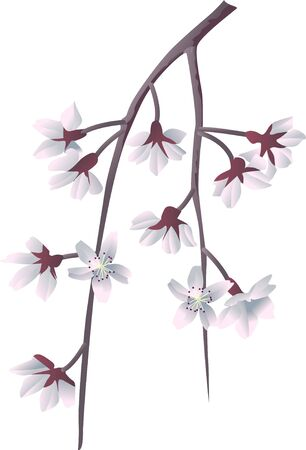drooping: Weeping cherry Stock Photo
