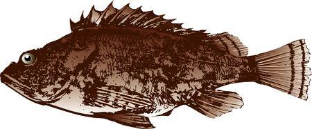 scorpion fish: Scorpion fish Stock Photo