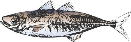 mackerel: Jack mackerel