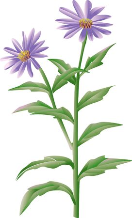aster: Aster Stock Photo