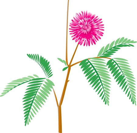 mimosa: Mimosa