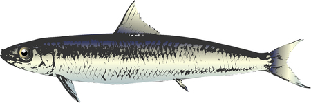 herring: Round herring