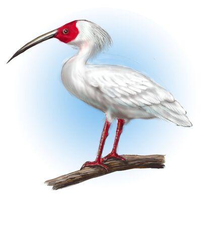ibis: Ibis Stock Photo