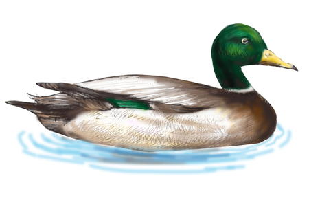 living organisms: Mallard duck Stock Photo
