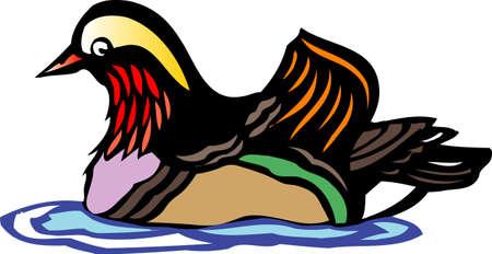 mandarin: Mandarin Duck Stock Photo