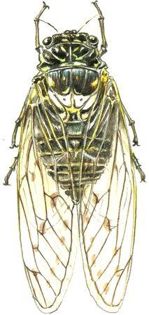 cicada: Cicadas