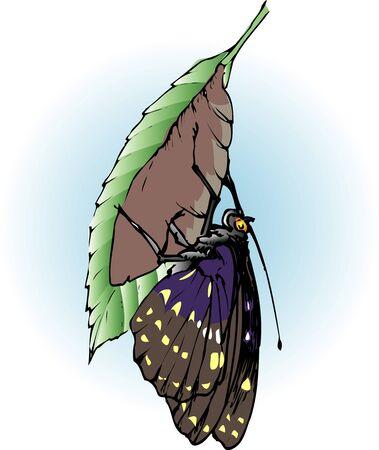 charonda: Hatching of S. charonda