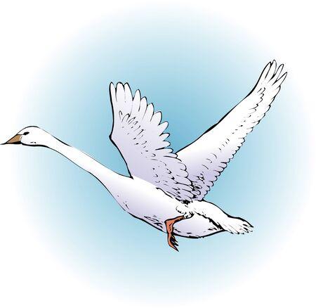 migratory: Swan Stock Photo