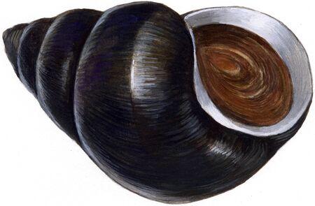 Mud snail