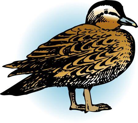 living organism: Spot-billed duck