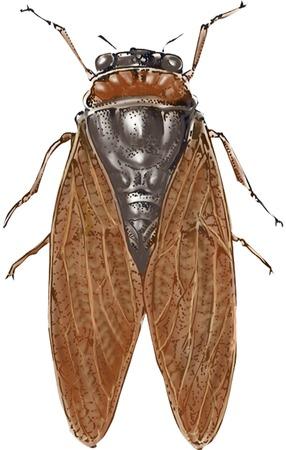 cicada: Cicada