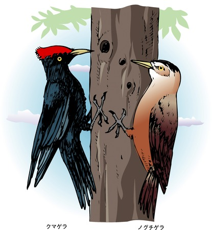 woodpecker: Black woodpecker and the Okinawa Woodpecker Stock Photo