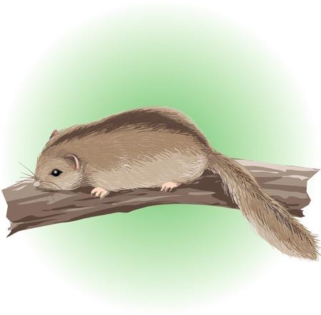 mammalian: Dormouse Stock Photo