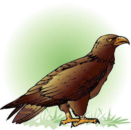 sea eagle: White-tailed sea eagle
