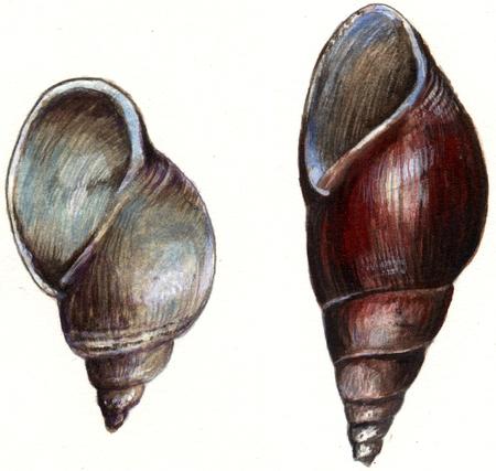 shellfish: Shellfish bait of firefly Stock Photo