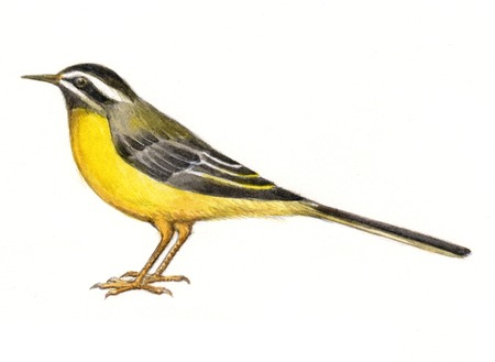 gray: Gray wagtail Stock Photo