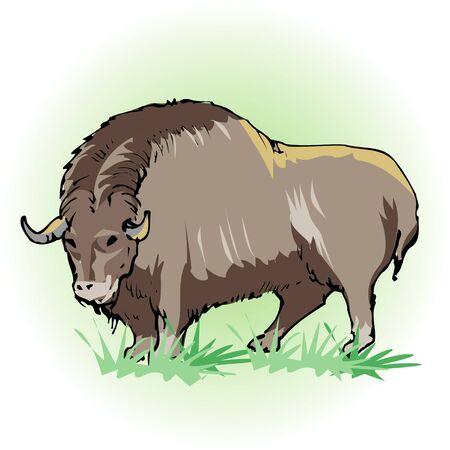 Musk ox Stock Photo