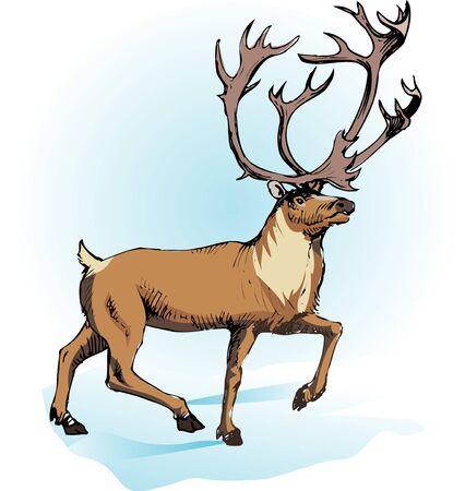 mammalia: Reindeer