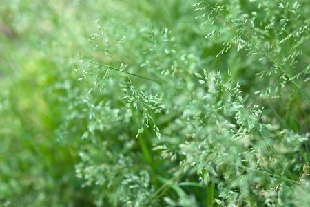 bluegrass: Minuma rice field of wild grass, annual bluegrass