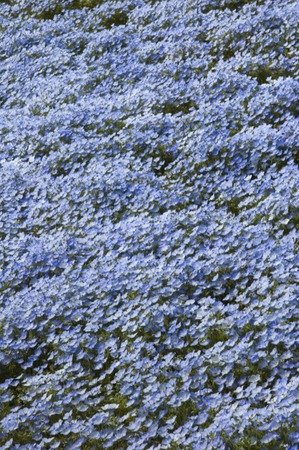 gregarious: Blue flower nemophila gregarious Stock Photo