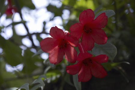ericaceae: Azalea Tropical Rondendoron-Rokiae
