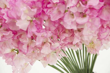 sweet pea flower: Pink sweet pea flower fan