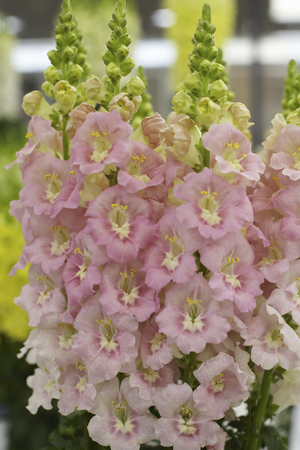 snapdragon: Salmon pink bouquet of snapdragon