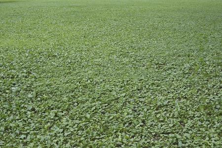 scarlet: Grassland of Scarlet Pimpernel Stock Photo