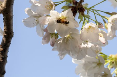 gather: Bees gather nectar of the early cherry