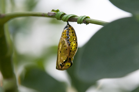 nymphalidae: Of butterfly butterfly pupae Stock Photo