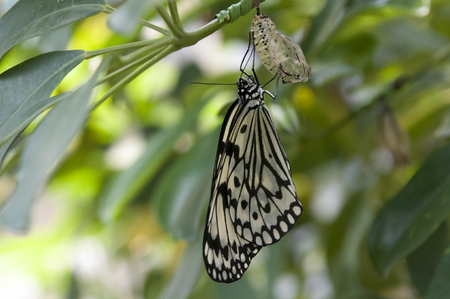 molting: Molting of butterfly butterfly