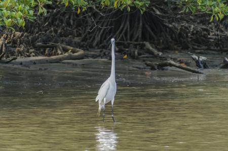 a large bird of prey: Large egret to look for prey in the shallows
